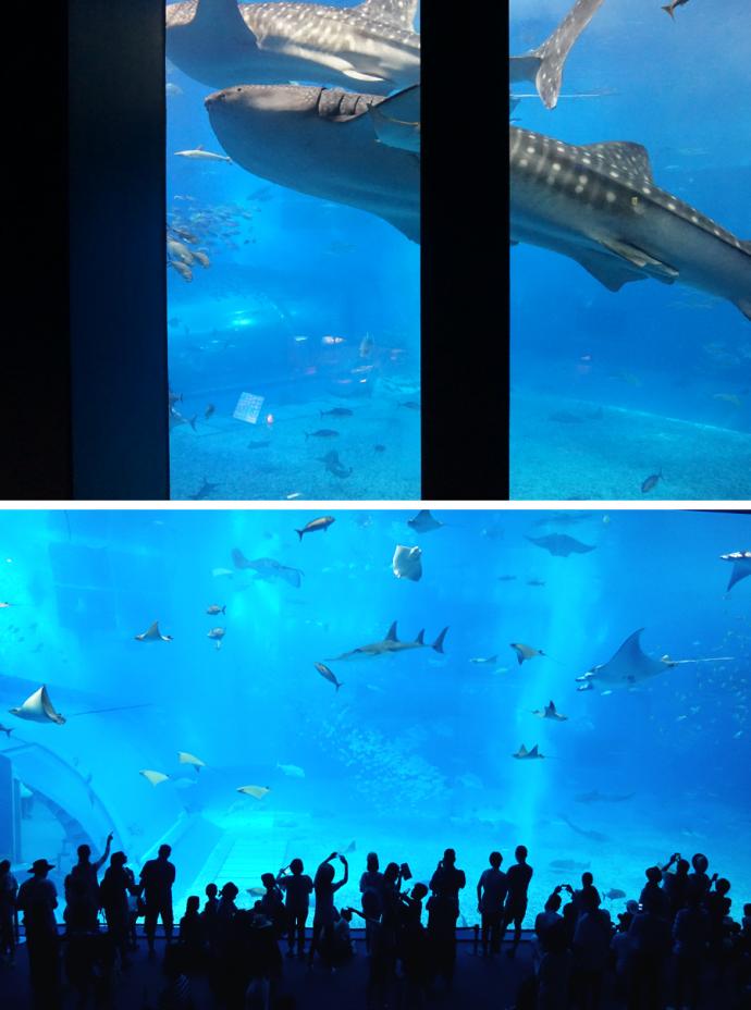 8.6 m 길이의 거대한 고래상어가 가장 유명하다  - 김효정 에디터  제공